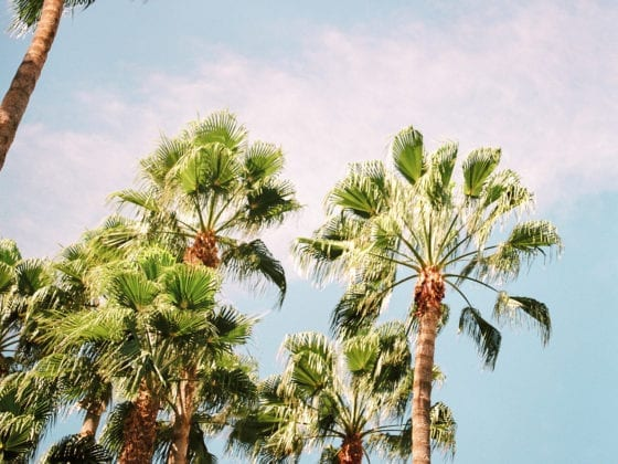 An aerial shot of palm treetops