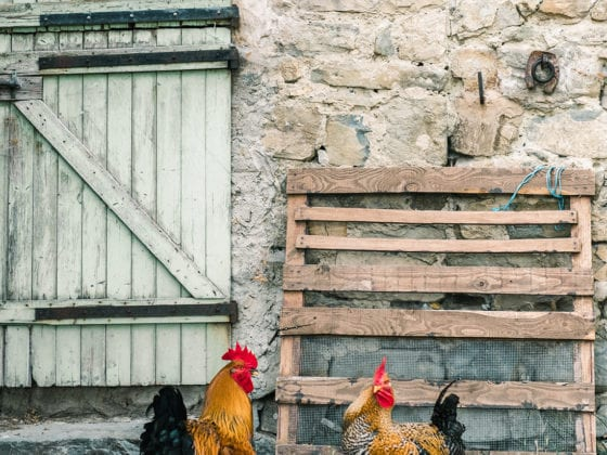Two chickens outside of a brick building